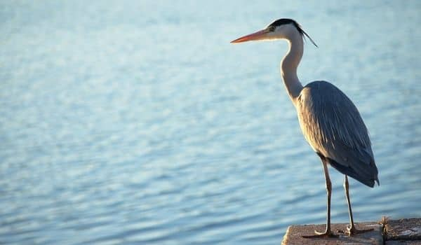 Avian Guide to the Netherlands-Heron