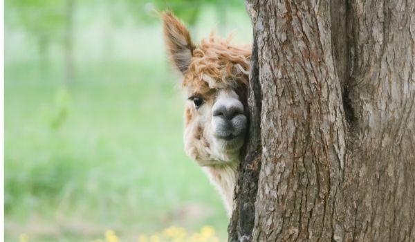 5 Best Alpaca Farms in the Netherlands