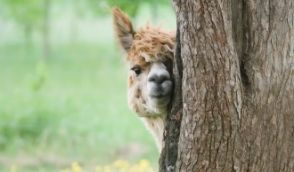 The 5 Best Alpaca Farms in the Netherlands